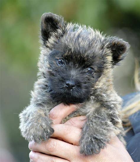 1000+ images about CAIRN TERRIER'S on Pinterest