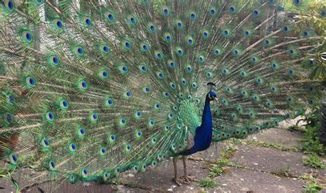 Mystery in village after much-loved Pat the Peacock
