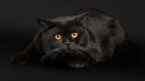 Black Cats Face Eyes Free Background wallpaper