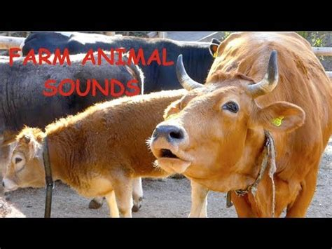 REAL FARM ANIMAL SOUNDS WITHOUT MUSIC, for children and