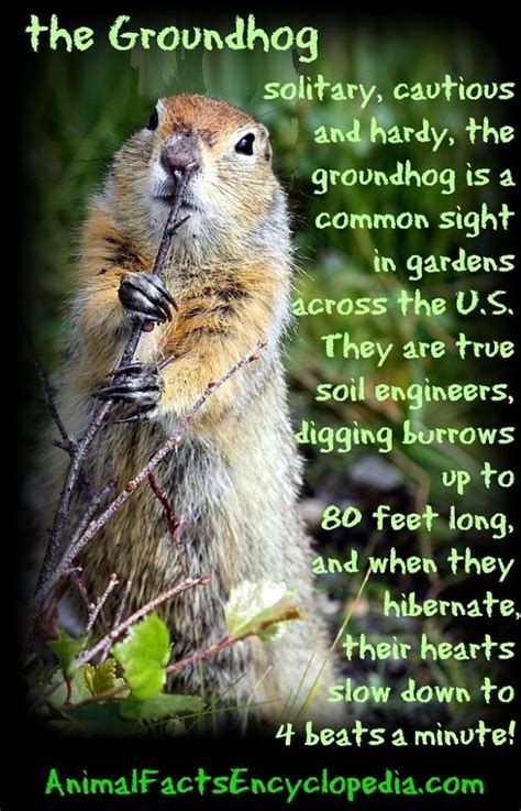Groundhog Facts - Animal Facts Encyclopedia